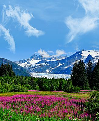 Beautiful pink vibrant flowers on the mountain side of Juneau, Alaska