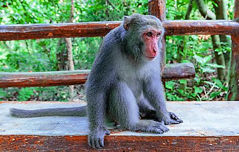 Macaque sitting on a bench in the forest of monkey mountain in Taiwan