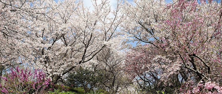 Cherry blossoms in full bloom in Kitakyushu, Japan