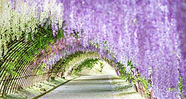 The wisteria tunnel kawachi with a curtain of purple flowers flowing over in the Kawachi Fuji Garden in Kitakyushu, Japan