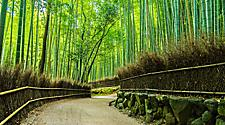 A walking path through the bamboo forest in Kyoto, Japan