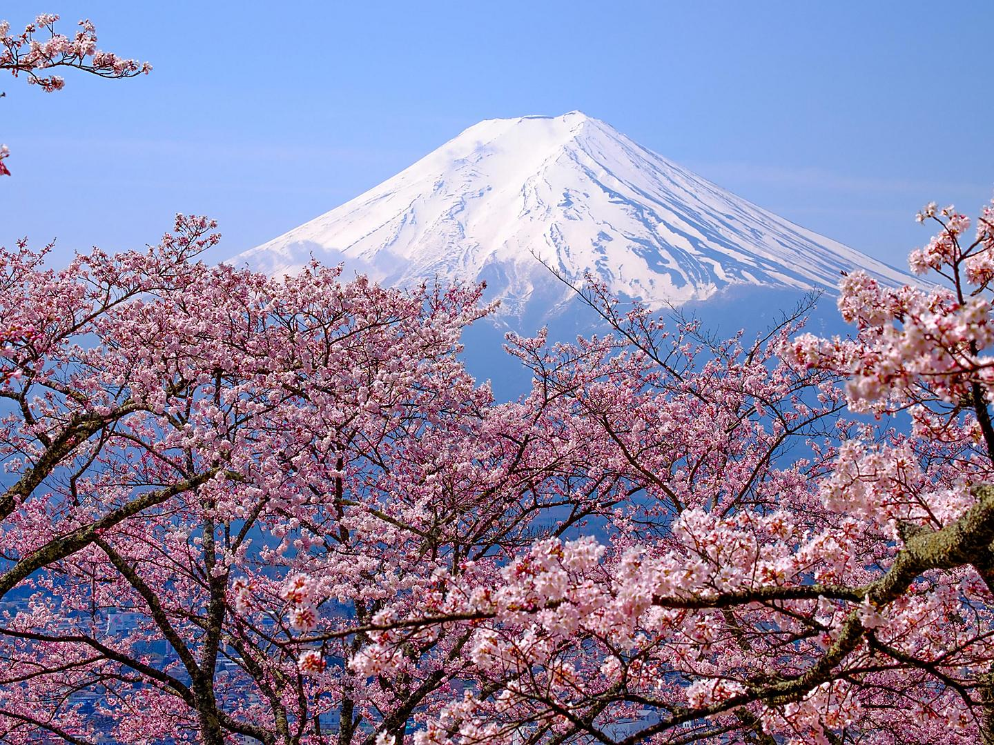 Kyoto (Osaka), Japan Mount Fuji Cherry Blossoms