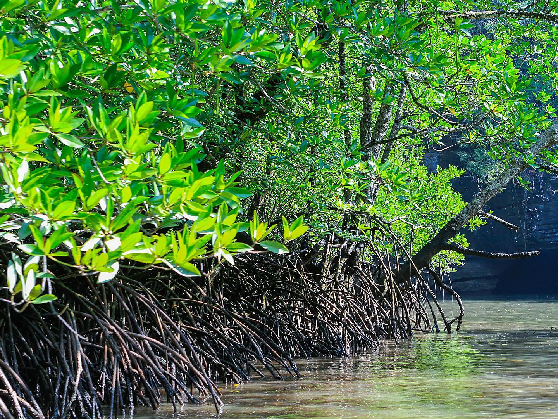 Langkawi, Malaysia Mangroves
