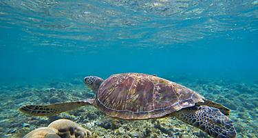 A sea turtle swimming in shallow water