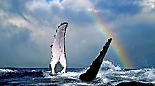 A whale jumping out of the ocean with a rainbow in the sky in Lahaina, Maui, Hawaii