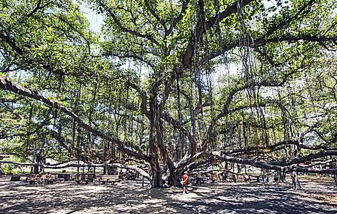 The old and big banyan tree in Lahaina Town on the Island of Maui, Hawaii