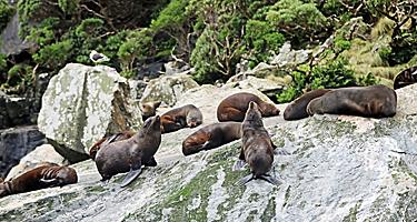 Seals on the rocks sun bathing in New Zealand