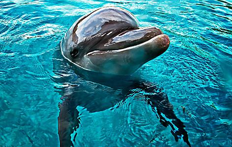 A dolphin sticking its head out of the water