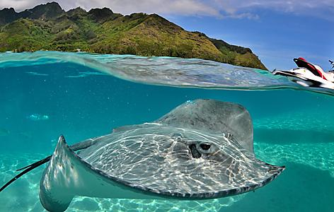 A sting ray in the ocean