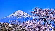 Cherry blossoms with views of Mt. Fuji