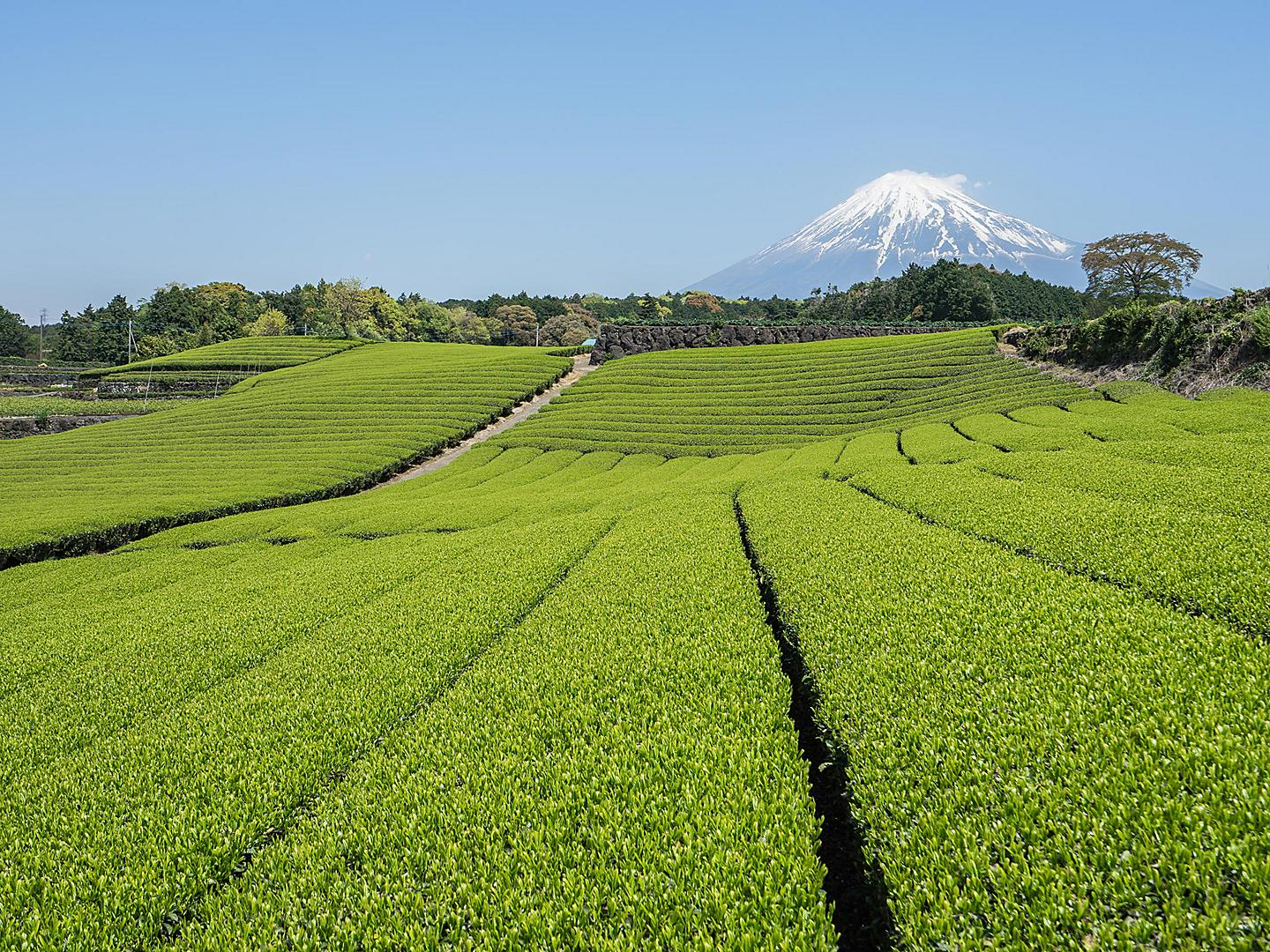 Mt. Fuji, Shimuzi, Japan Green Tea Fields