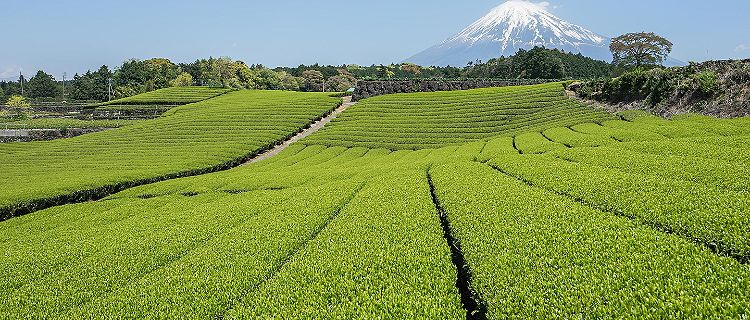 Green tea fields with views of Mount Fuji
