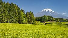 A tea farm mount with views of Mount Fuji in Spring at Shizuoka, Japan
