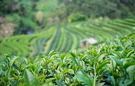 Close up shot of tea leaves in a green tea plantation in Mt. Fuji