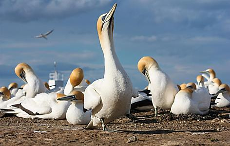 Birds found in Cape Kidnappers Gannet Colony in Hawkes Bay in New Zealand