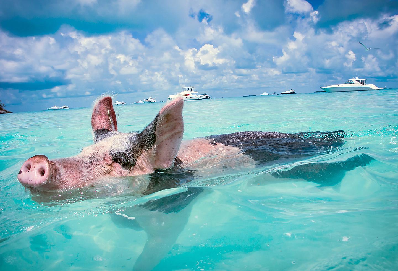 Bahamas Exuma Swimming Pigs