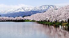 Rows of cherry blossoms, sakura, outside Takada Castle Park in Niigata, Japan