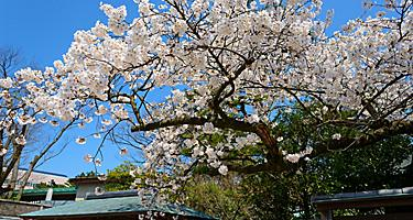 Cherry blossoms at the Hakusan Park in the city of Niigata, Japan