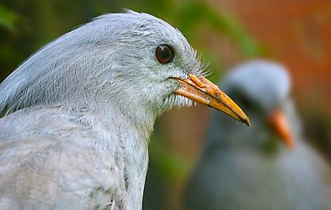 The face of a grey kagu bird from New Caledonia