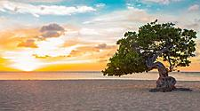 Divi-divi tree at sunset on Eagle Beach, Oranjestad, Aruba