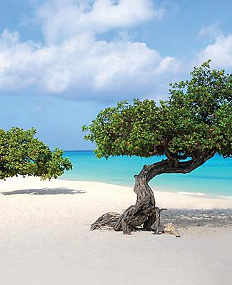 Divi-divi trees at Eagle Beach, Oranjestad, Aruba