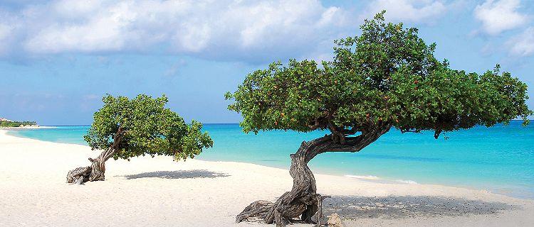 oranjestad aruba divi divi trees caesalpinia coriaria