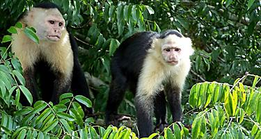Caupchin monkeys on Monkey Island in Lake Gatun on the Panama Canal