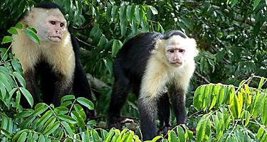 Caupchin monkeys on Monkey Island in Lake Gatun on the Panama Canal