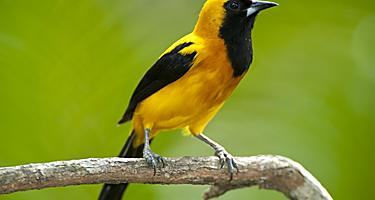 A yellow-backed bird found in the Soberania National Park that can be seen from the Panama Canal