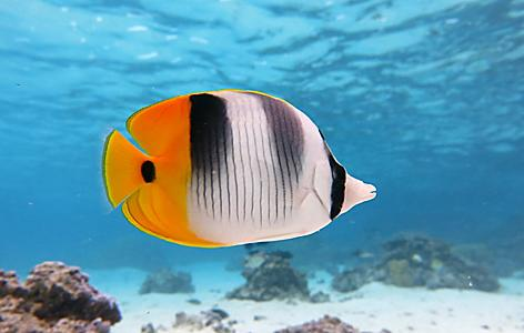 Up close view of a fish swimming while snorkeling in Papeete, Tahiti