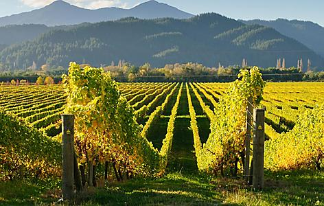 View of the vineyards in the Marlborough district by Picton, New Zealand