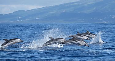 A pod of Atlantic striped dolphins