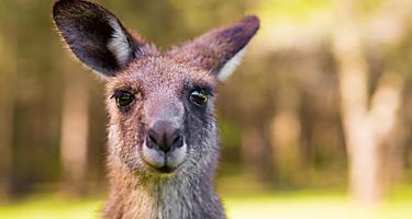 Young Kangaroo in Port Douglas, Australia