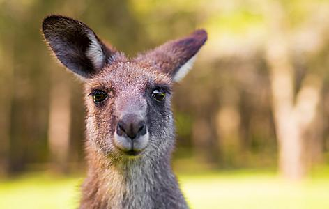 Young Kangaroo in Port Douglas, Australia