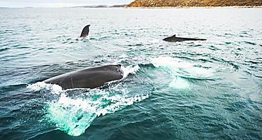 Multiple humpback whales