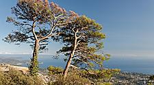 Two pine trees on Mount Faron in France