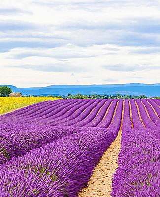 Panoramic view of a lavender field in Provence, France