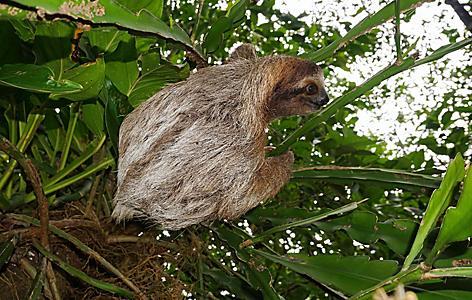 Three-toed sloth animal climbing plant in the jungle of Puerto Limon, Costa Rica