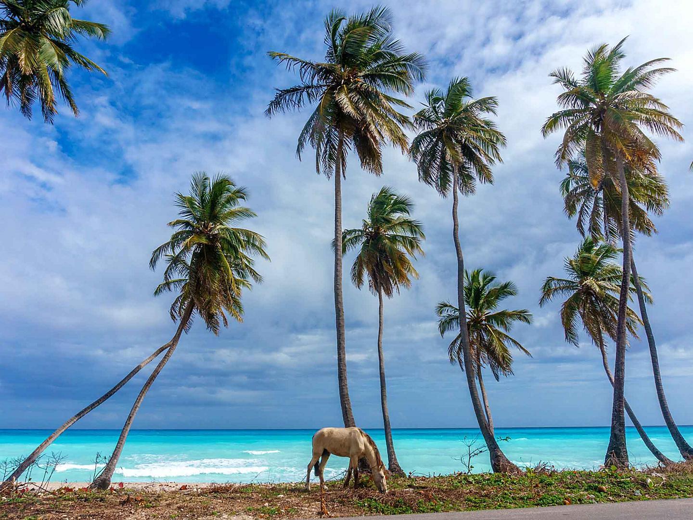 Punta Cana, Dominican Republic Horse Beach Palm Trees