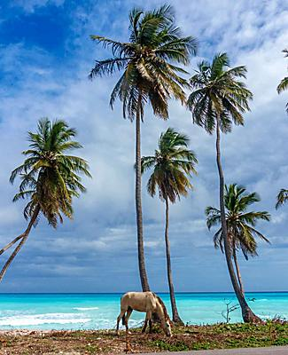 A horse eating grass under the palm trees on the beach of Punta Cana, Dominican Republic