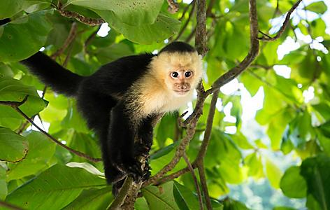 Capuchin Monkey on tree limb at the Gumbalimba Park Nature Reserve, Roatan, Honduras