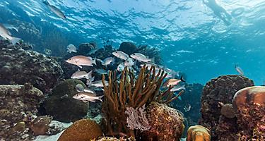 Man snorkeling with fish in a marine reserve, Roatan, Honduras