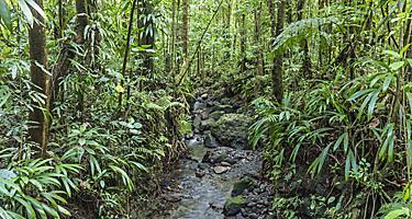 Dense jungle with small creek in the national park in Dominica