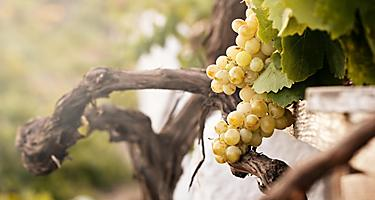 Bunch of white grapes in the vineyard in the Wine Museum of Thira, Santorini, Greece