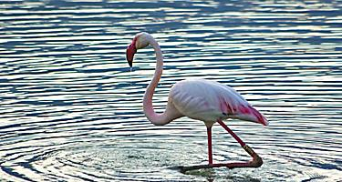 A flamingo at Molentargius Park in Sardinia, Italy