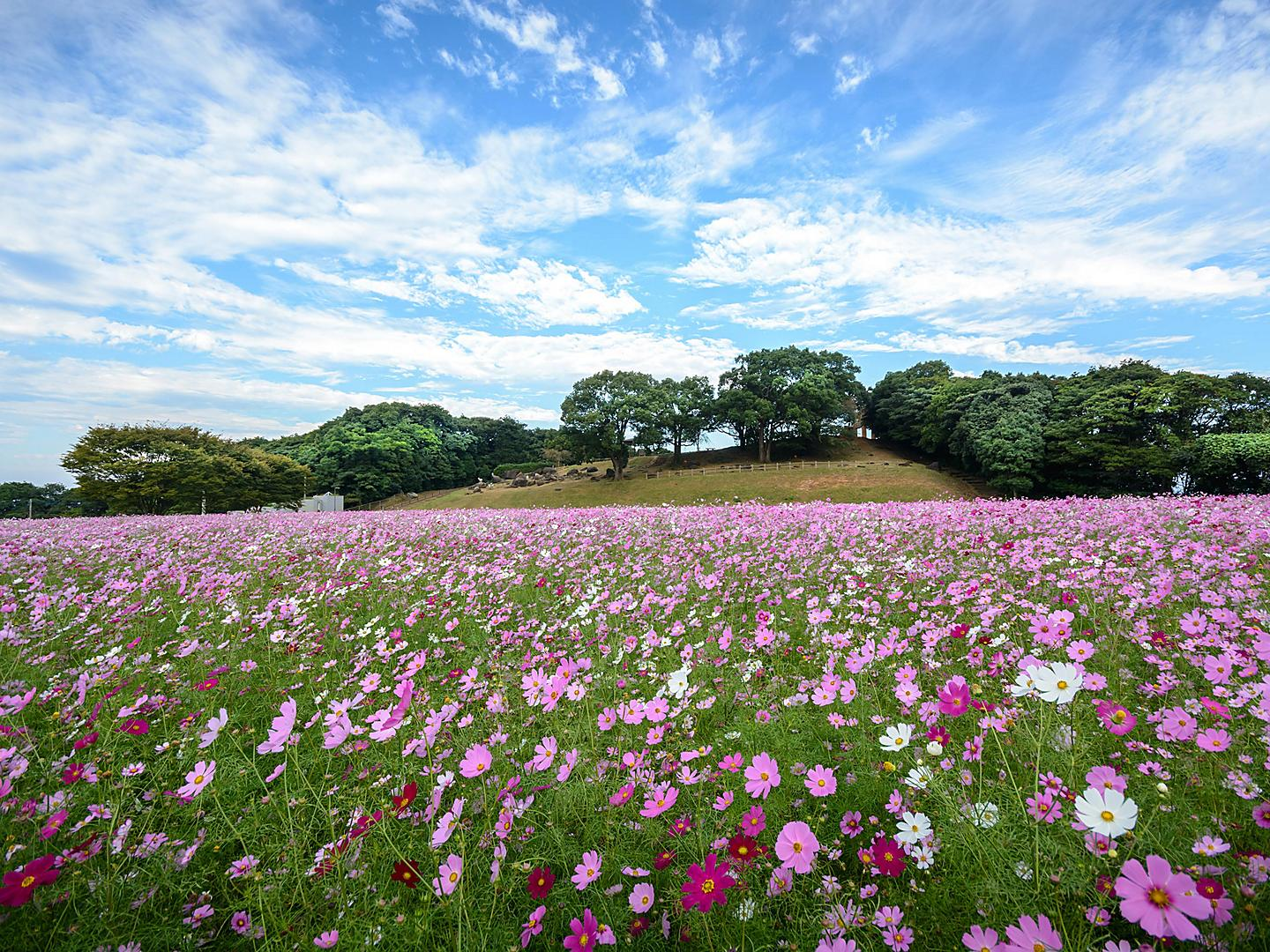 Sasebo, Japan Cosmos Flowers