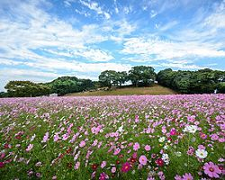 Field of cosmos flowers in Tenkaiho in Sasebo, Japan