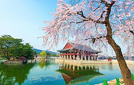 Serene view of the Gyeongbokgung palace with cherry blossoms