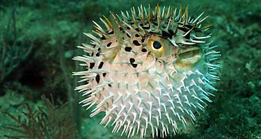 A blowfish in the ocean