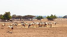 Scimitar oryx in a wildlife reserve in Sir Bani Yas, United Arab Emirates